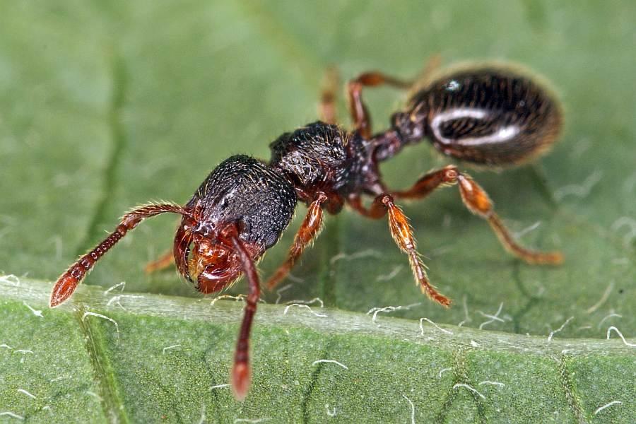 naturspaziergang bersicht der artenportraits ber ameisen fomicidae. Black Bedroom Furniture Sets. Home Design Ideas