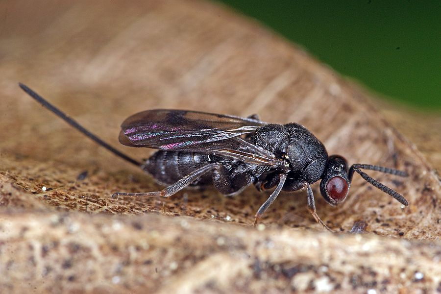 glyphomerus stigma gezeichnete rosenerzwespe torymidae berfamilie erzwespen chalcidoidea. Black Bedroom Furniture Sets. Home Design Ideas