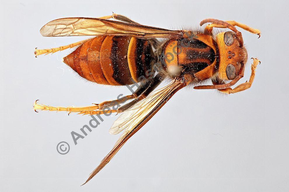 vespa velutina asiatische hornisse vespidae faltenwespen vespinae echte wespen. Black Bedroom Furniture Sets. Home Design Ideas