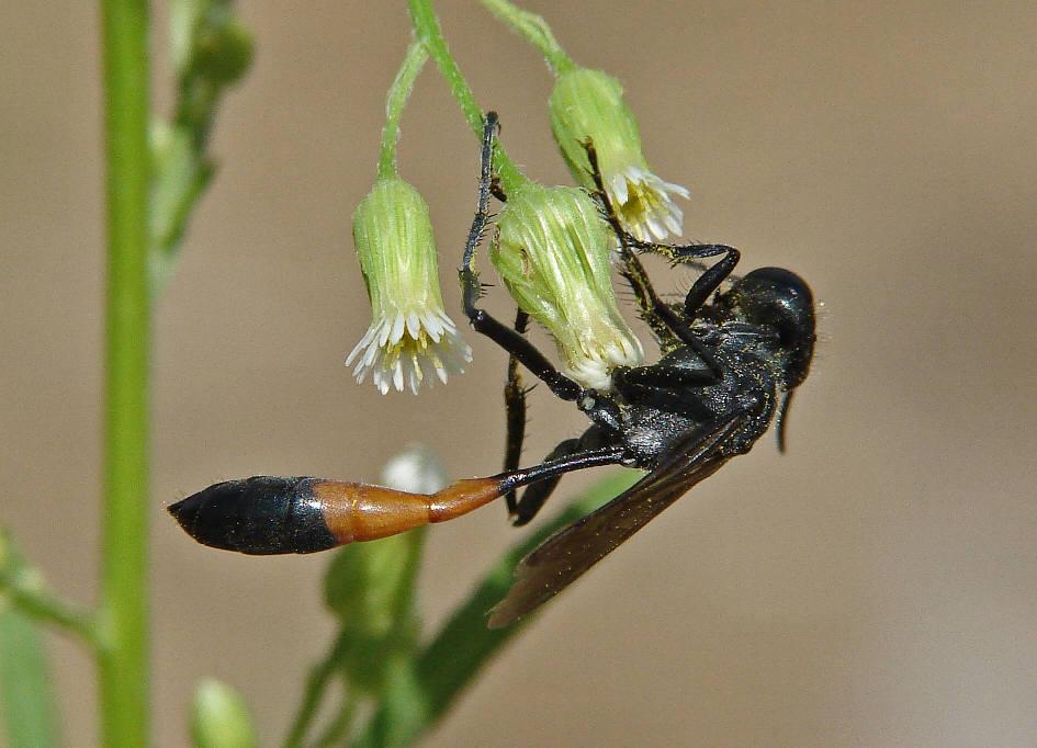 insekt mit schwarzem kornartigen hinterteil fliegen insekten motten. Black Bedroom Furniture Sets. Home Design Ideas