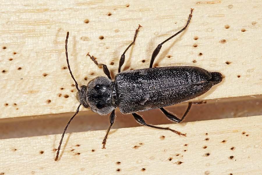 Hylotrupes Bajulus Hausbock Bockkafer Cerambycidae