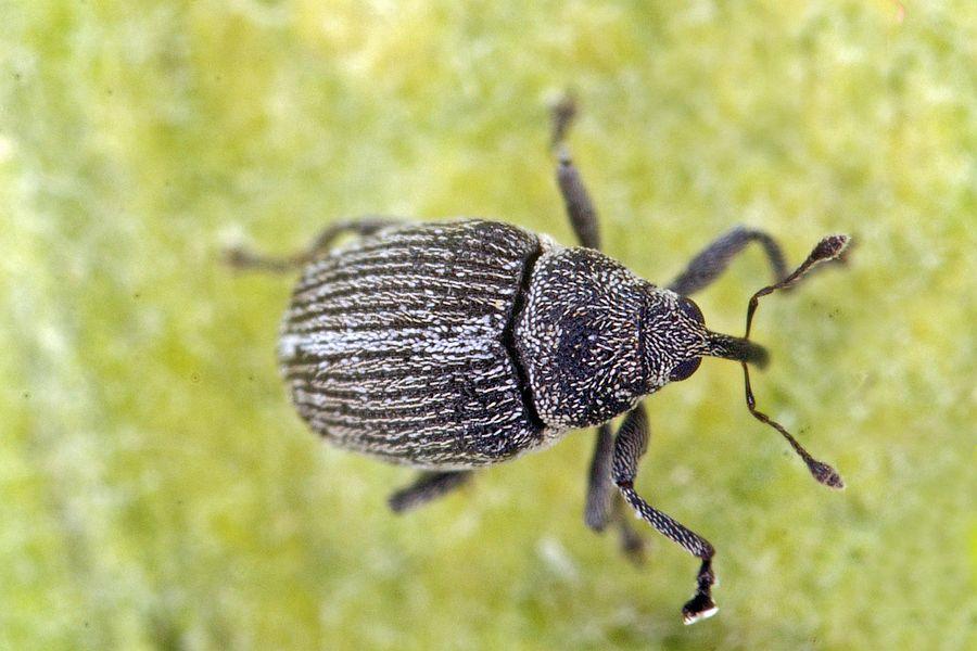 Ceutorhynchus typhae / Blüten-Kleinrüssler / Rüsselkäfer ...
