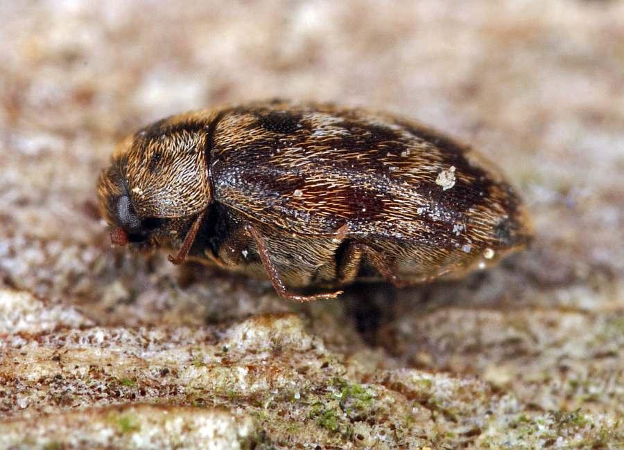 Anthrenocerus Australis Australischer Teppichkafer Speckkafer