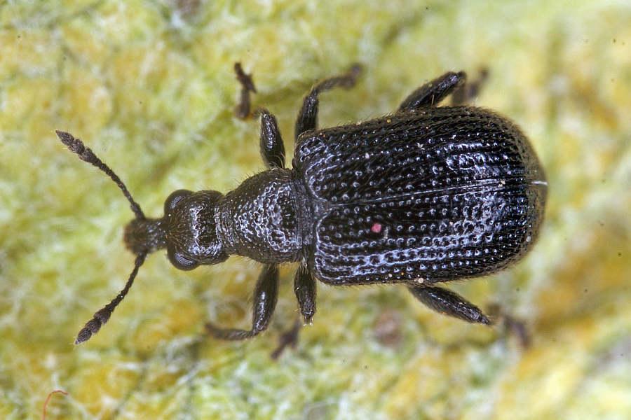deporaus betulae schwarzer birkenblattroller blattroller attelabidae. Black Bedroom Furniture Sets. Home Design Ideas