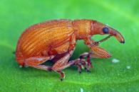 oranger käfer