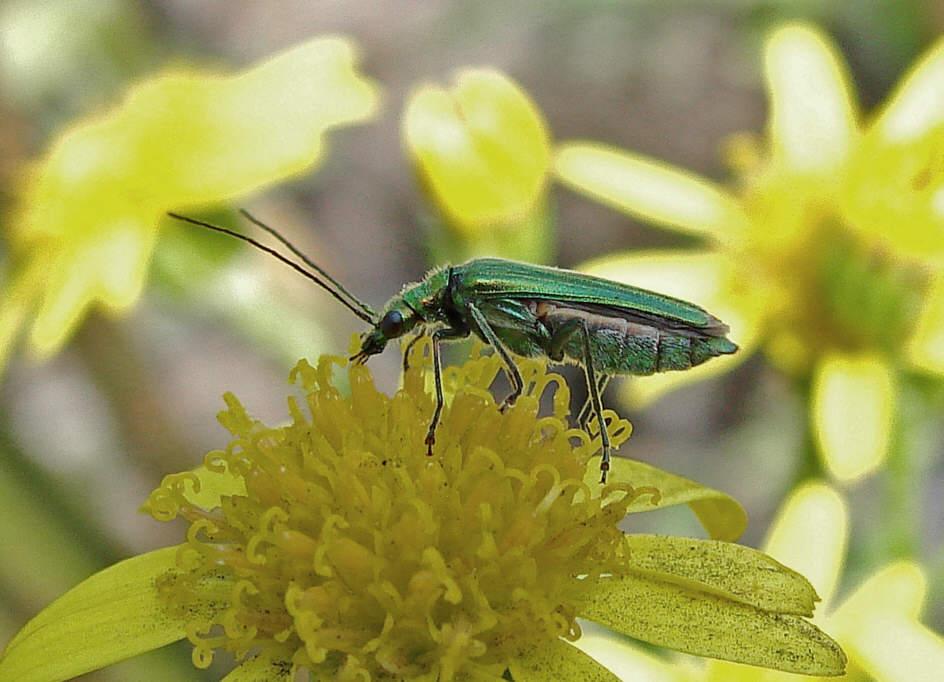 grün schillernd käfer