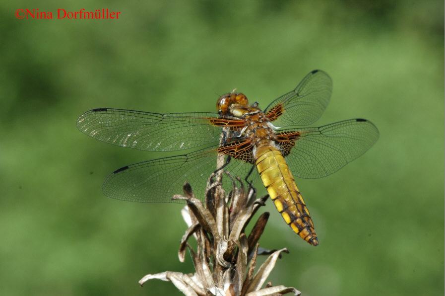 Naturspaziergang libellenarten kleine artenportraits for Kleine teichfische arten