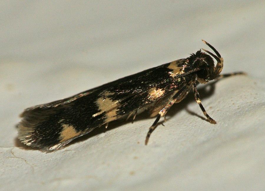 oegoconia deauratella ohne deutschen namen nachtfalter autostichidae autostichinae. Black Bedroom Furniture Sets. Home Design Ideas