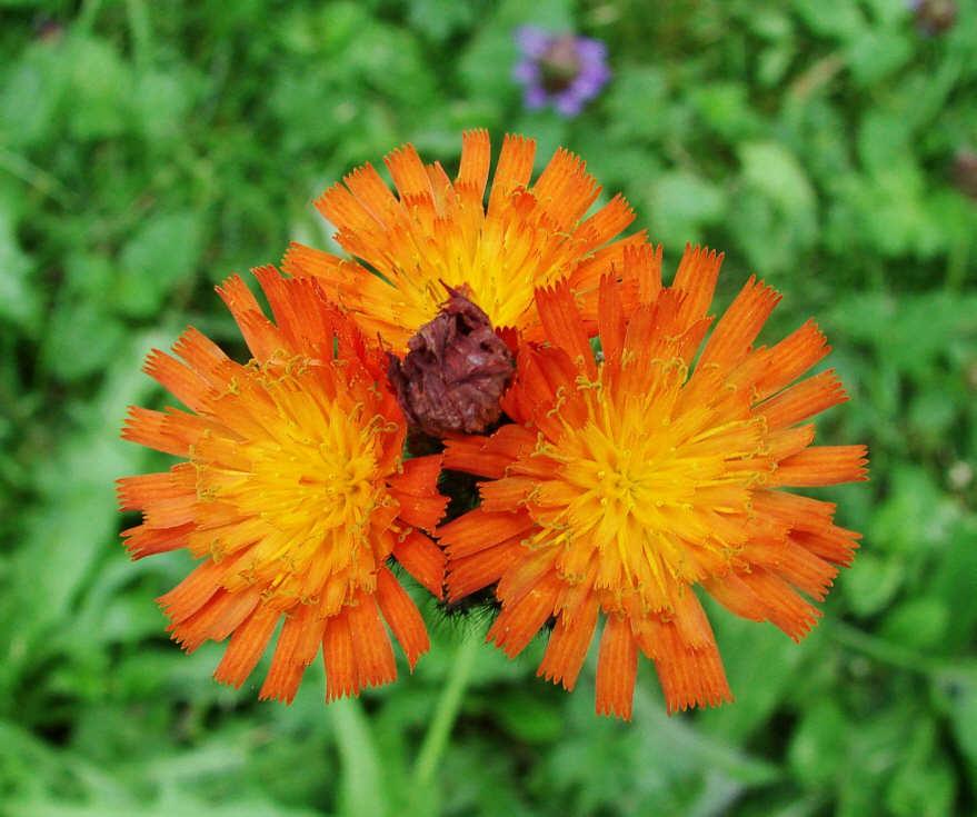 http://www.naturspaziergang.de/Pflanzenfotos/Hieracium_aurantiacum.jpg