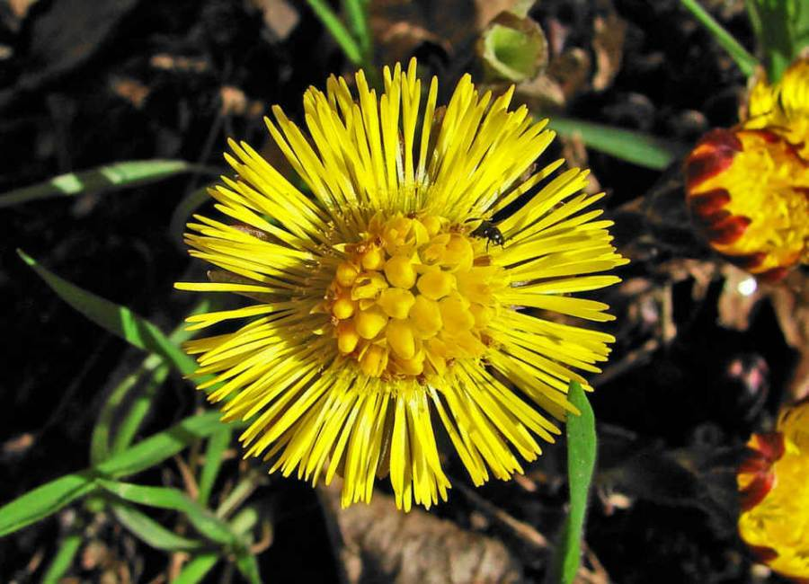 http://www.naturspaziergang.de/Pflanzenfotos/Tussilago_farfara.jpg
