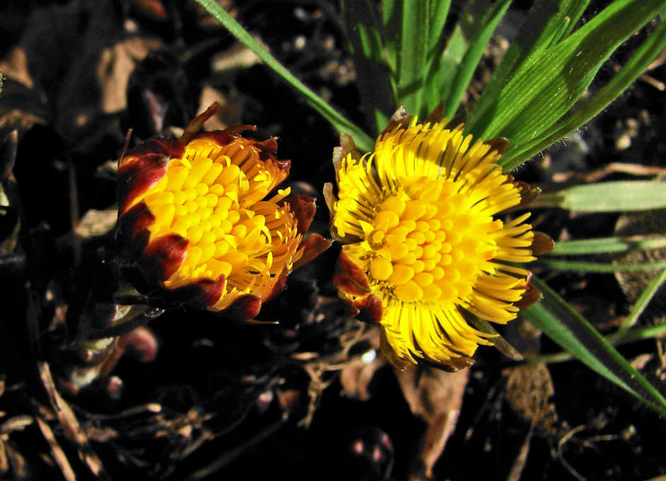 http://www.naturspaziergang.de/Pflanzenfotos/Tussilago_farfara_001.jpg