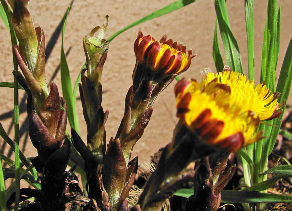 http://www.naturspaziergang.de/Pflanzenfotos/Tussilago_farfara_002.jpg