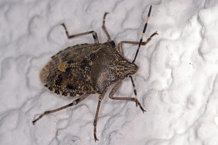 wanzen in der wohnung miridae weichwanzen phytocoris ulmi. Black Bedroom Furniture Sets. Home Design Ideas