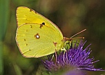 Colias crocea / Postillion