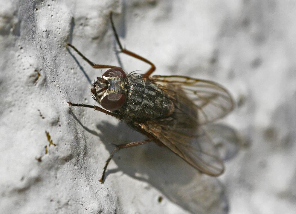 muscina stabulans stallfliege echte fliegen muscidae. Black Bedroom Furniture Sets. Home Design Ideas
