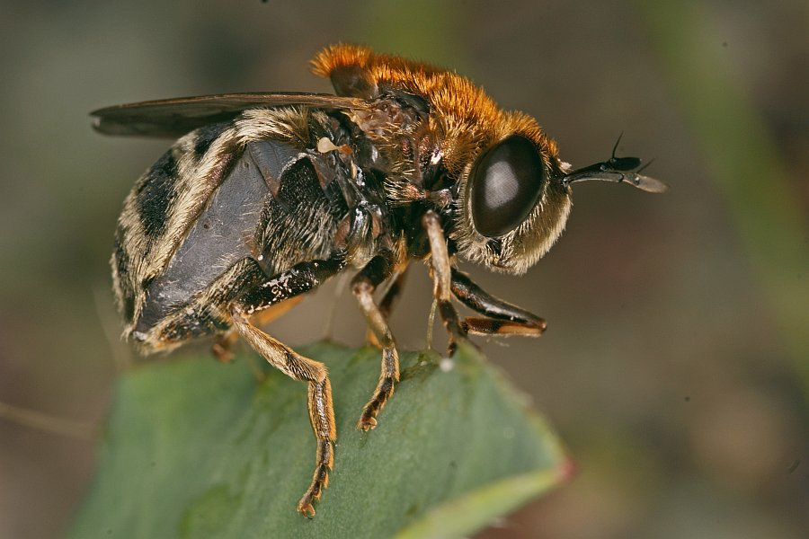 microdon mutabilis ameisen schwebfliege schwebfliegen syrphidae. Black Bedroom Furniture Sets. Home Design Ideas