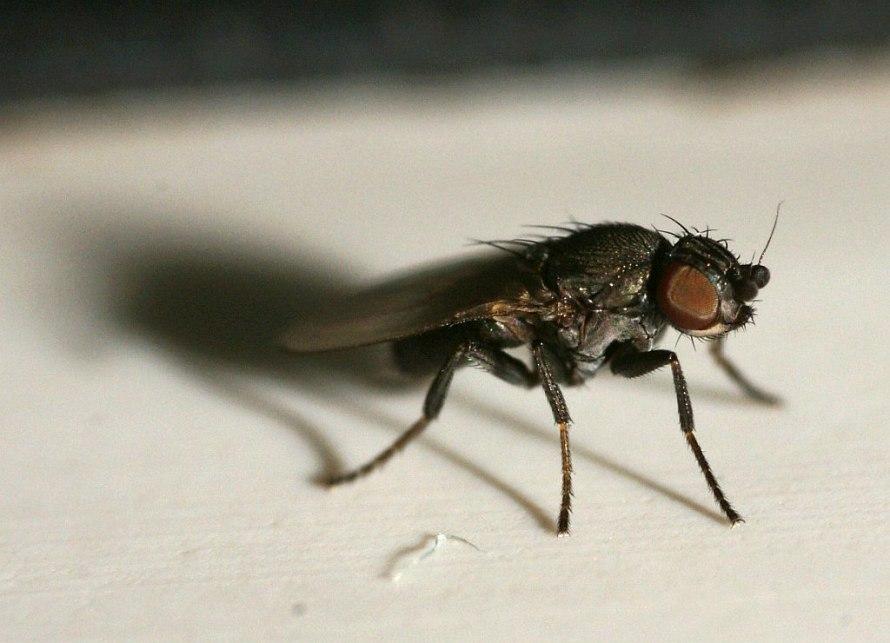 fotos von diptera spec unbestimmte fliegen und m cken. Black Bedroom Furniture Sets. Home Design Ideas