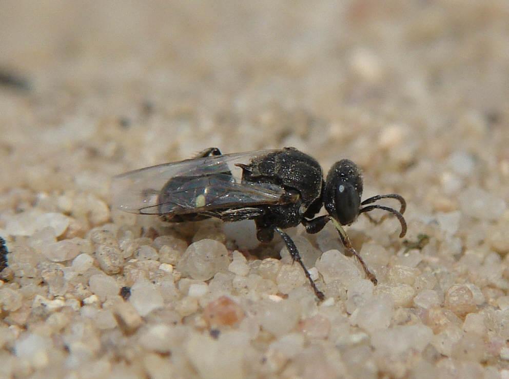 Naturspaziergang Wissenswertes über Wespen Teil 2 Grabwespen