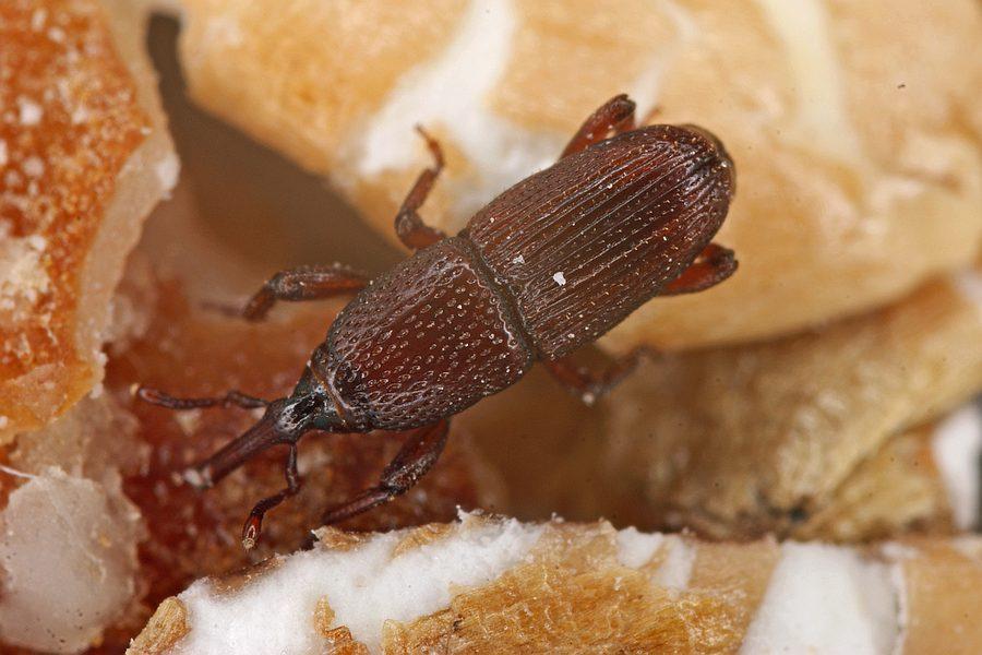 Ganz und zu Extrem Sitophilus granarius / Kornkäfer / Rüsselkäfer - Curculionidae &YR_76