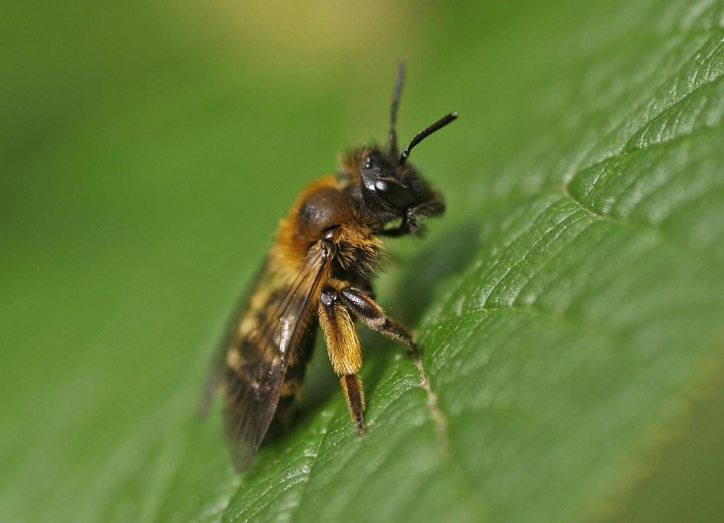 Naturspaziergang bienenarten wildbienenarten arten von for Kleine teichfische arten